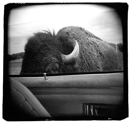 Holga photograph of a Buffalo in Kerrville, Texas