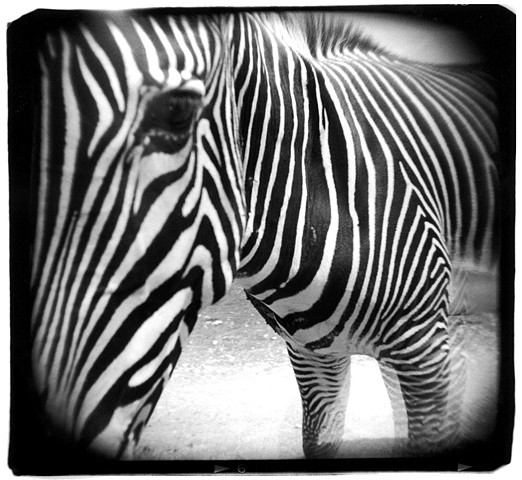 Holga photo of a zebra in Kerrville, Texas