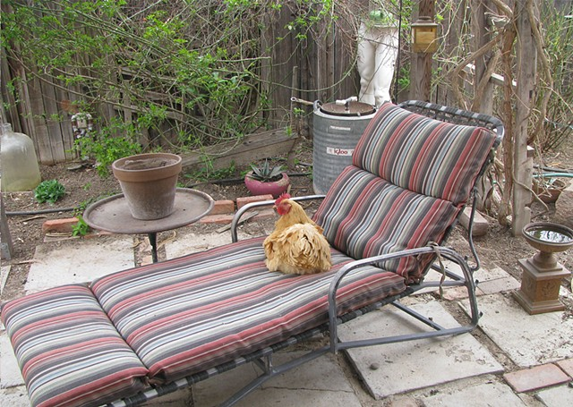 Chickens, greeting cards, buff orpington, chaise lounger, lounging chicken