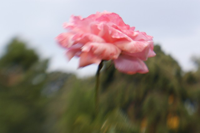 Blurred Rose