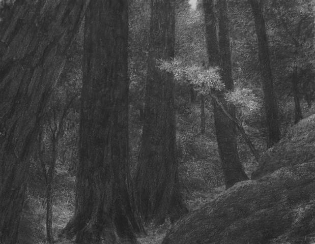 katherine meyer drawing charcoal redwoods california Big Basin