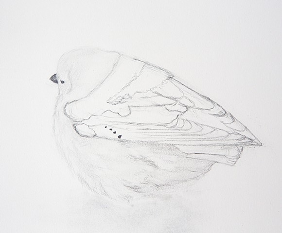 arctic snow bunting song bird drawing by Chelsea Clarke