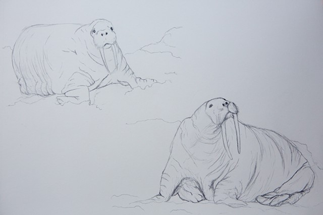 natural history study of walrus in the bering sea pacific arctic by Chelsea Clarke