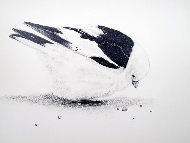 snow bunting bird nature drawing, arctic wildlife, by chelsea clarke