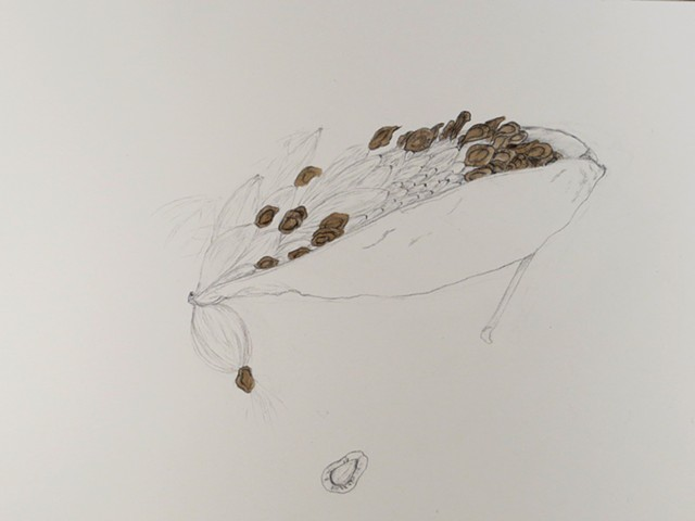 graphite and walnut ink drawing of a dried milkweed seed pod, winter natural history study by Chelsea Clarke