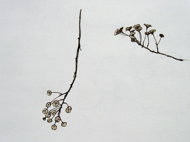 pen and colored pencil botanical drawing by Chelsea Clarke