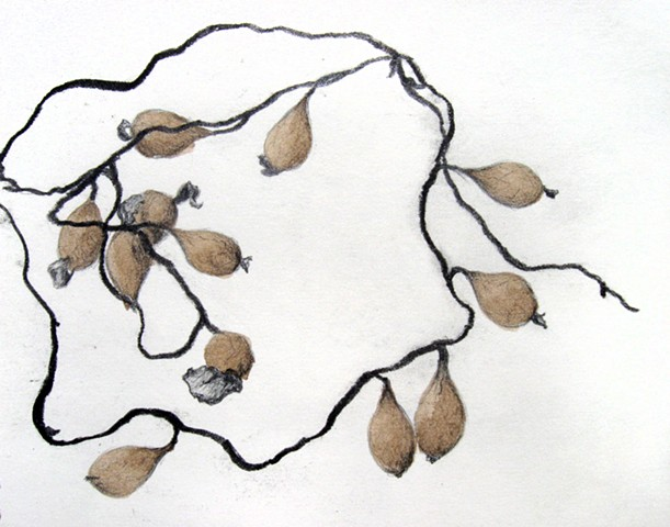 graphite and ink nature study of bladder wrack seaweed by Chelsea Clarke