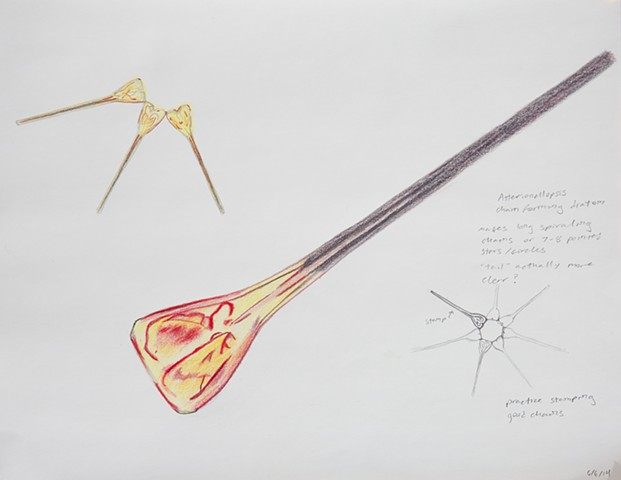 red and yellow asterionellopsis diatom drawing by Chelsea Clarke