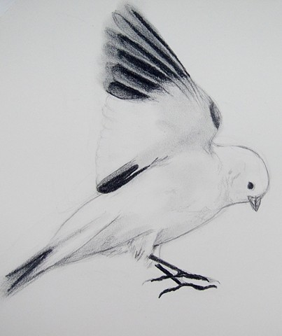graphite line of an arctic snow bunting, alaskan wildlife, bird taking off by chelsea clarke