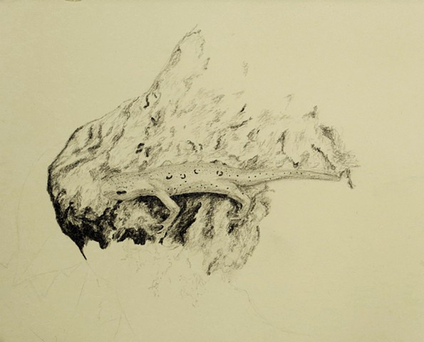 Graphite drawing of a red eft on Mount Monadnock by Chelsea Clarke, new england forest wildlife, amphibians, natural history