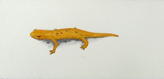 Graphite and colored ink drawing or an orange red eft from Mt Monadnock in New Hampshire, by Chelsea Clarke