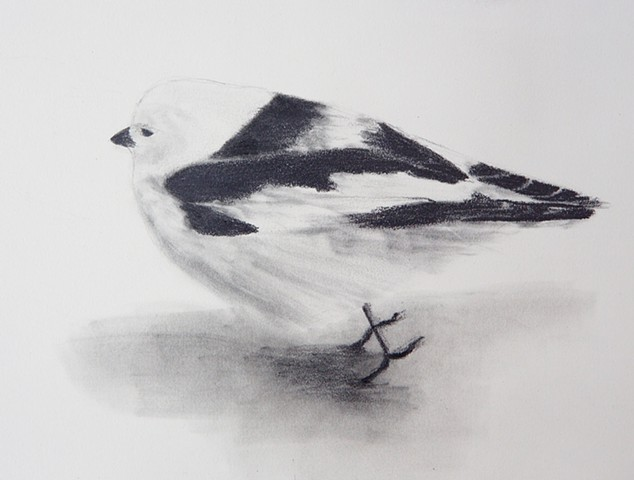 graphite snow bunting drawing from the arctic tundra by Chelsea Clarke