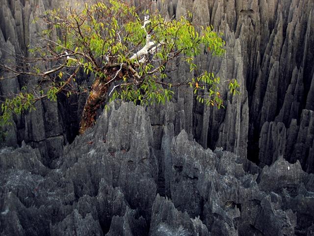Vazaha Tree