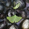 GINKGO LEAVES ON WATER (detail)