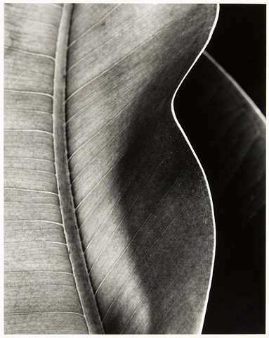 Untitled (Rubber Plant)
