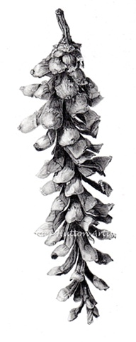 Eastern White Pine Cone