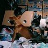 Chihuahuas for sale at flea market, Kentucky, 2010