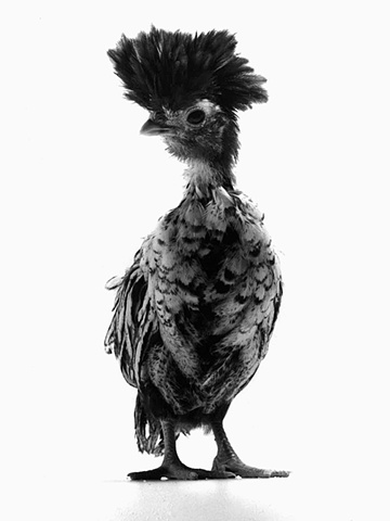 Studio photographs of Silver Crested Polish chicken made by JoAnn Baker Paul photographer, chickens, fine art, fine printmaking, in Steamboat Springs, Colorado.