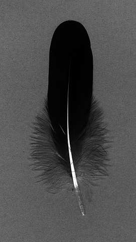 Photograph of goose feather, feather, fine art, fine art print, Steamboat Springs, Colorado by JoAnn Baker Paul