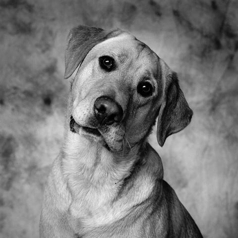 Studio Dog Portrait of a Yellow Lab by JoAnn Baker Paul photographer, dogs, fine art, fine printmaking, in Steamboat Springs, Colorado.