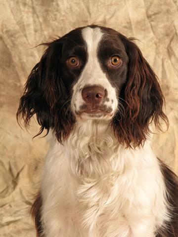 Studio photograph of dog, springer spaniel, by JoAnn Baker Paul photographer, fine art, fine printmaking, in Steamboat Springs, Colorado.