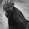 Portrait of a Red Rooster  (black & white)