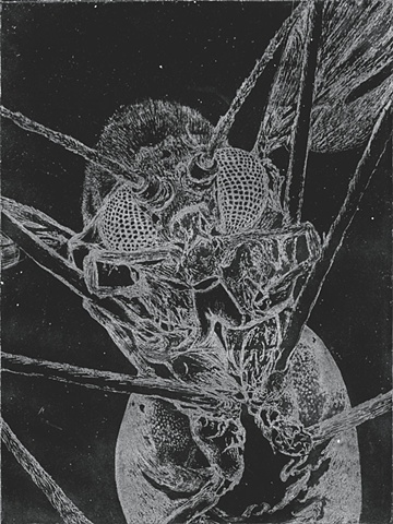 picture of brigitte caramanna, fly, fly close up, examination, etching, intaglio, specimen, examine, nature, life, insect, earth, intaglio printmaking by brigitte caramanna