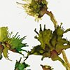 Wild Yellow Thistle and Leaves