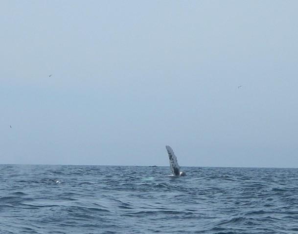 humpback calf flipper slap