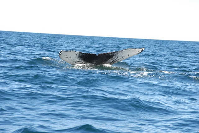 humpback whale fluke, summer 2009