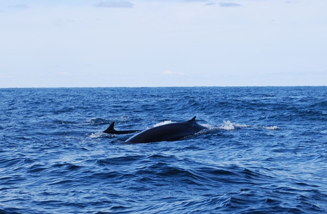 Fin Whale and Calf!!