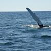 P-Town Whales: Summer 2009