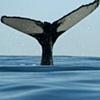 P-town Whales Summer: 2010