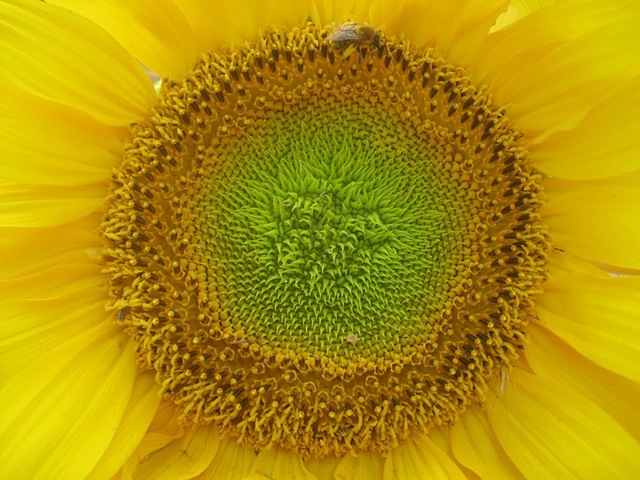 Sunflower and Honey Bee