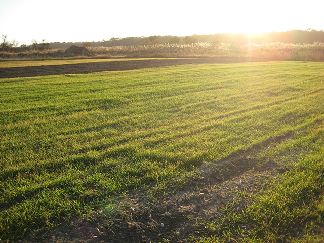 Rye Grass at Roger's Farm