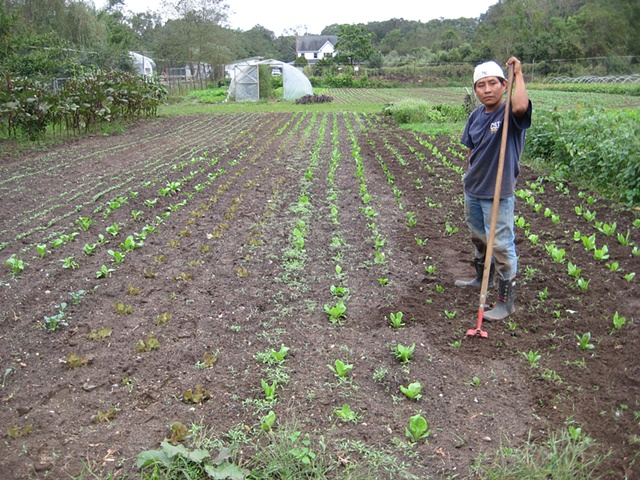 Edwin Cultivates Rows of Chicory