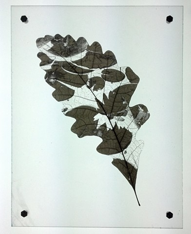 Oak leaf laser etched with image of water lily