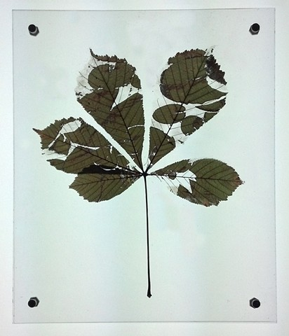 Buckeye leaf etched with image of water lily