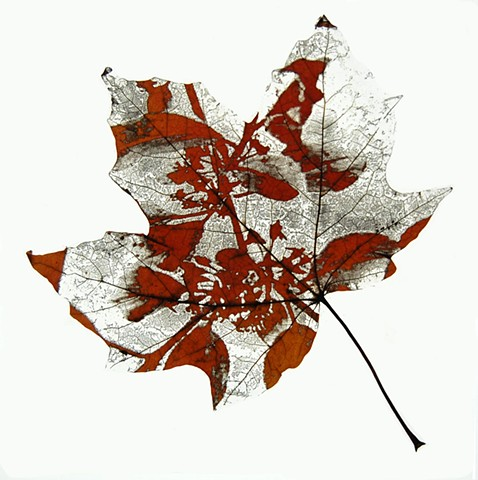 Maple leaf laser etched with Buckthorn leaves & flowers