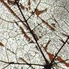 Maple minus rosa multiflora