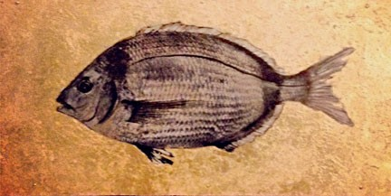 Stuart - Bream Fish