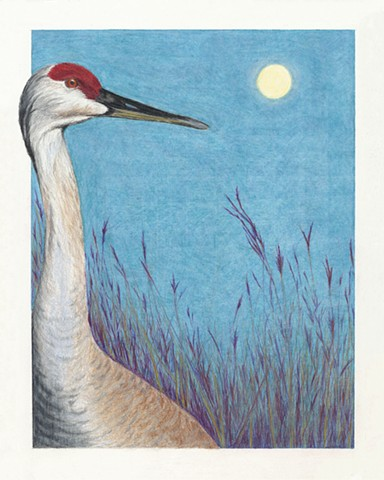 Sandhill Crane, Moon, Crex Meadows Wildlife Refuge
