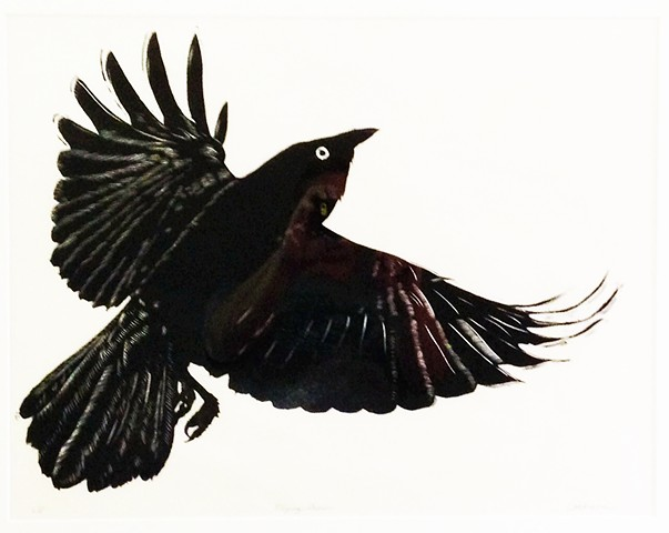 Crow flying with wings spread