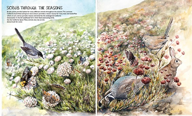 california buckwheat spring fall quail Emily Underwood