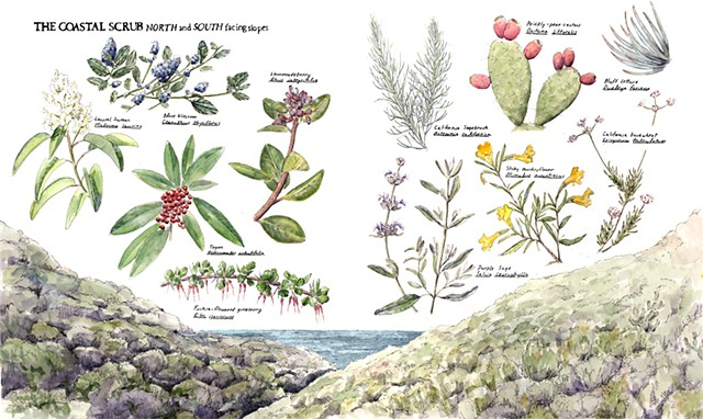 California Coastal Scrub Community illustration Emily Underwood