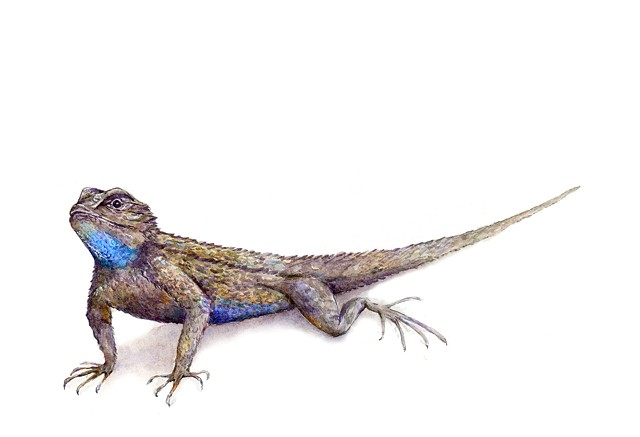 Sceloporus occidentalis Western Fence Lizard watercolor by Emily Underwood