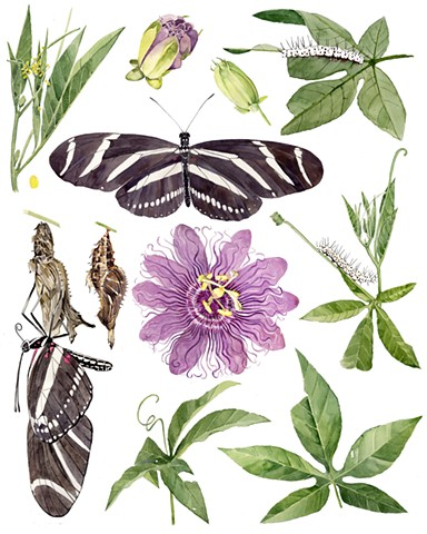 Zebra longwing and Purple passionvine