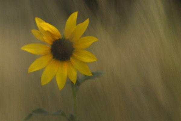 Sunflower in Grass