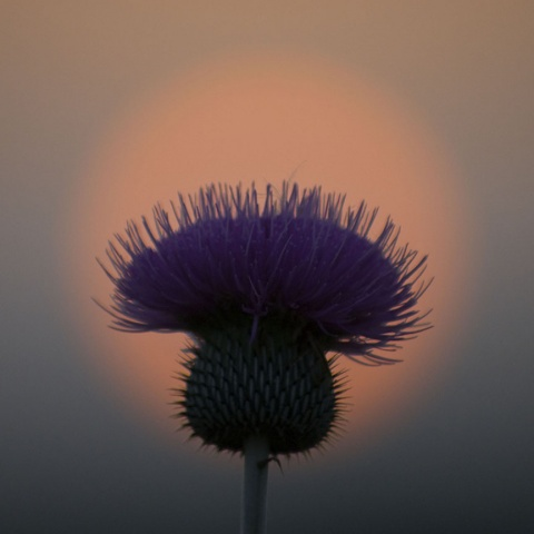 Thistle Sunset