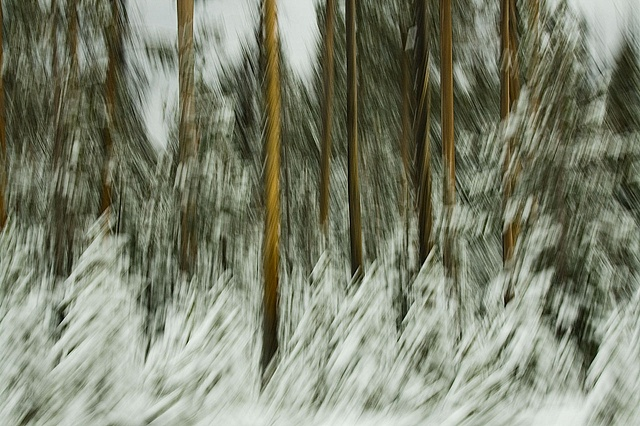 Pine trees with snow - camera motion blur